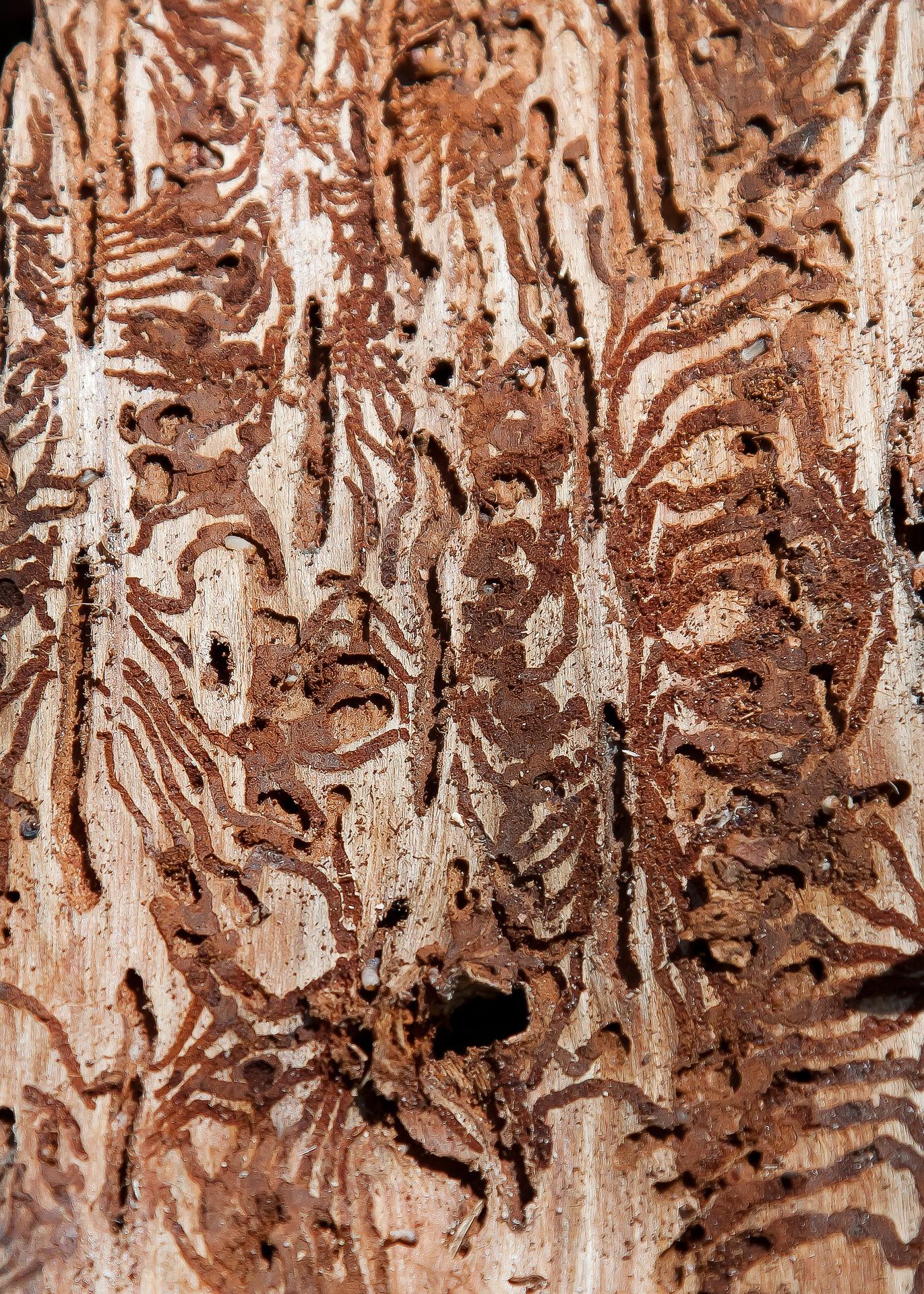 scolytes et conséquences des changements climatiques sur la forêt